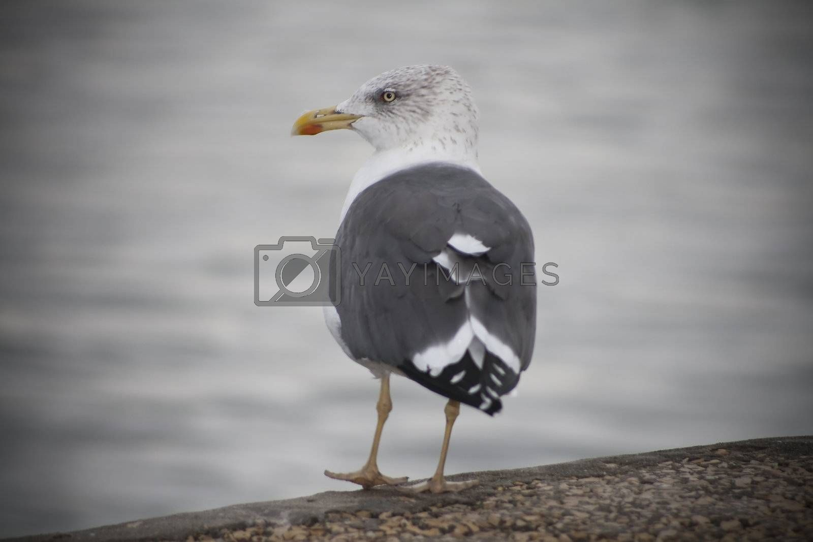 Lonny seagul stering in the rain