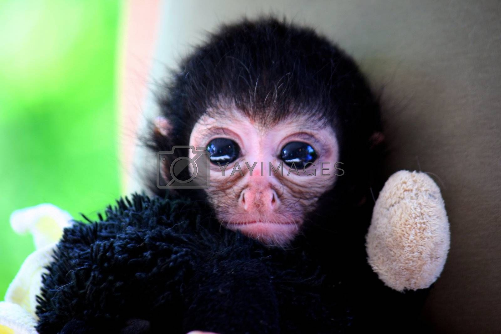 ape baby