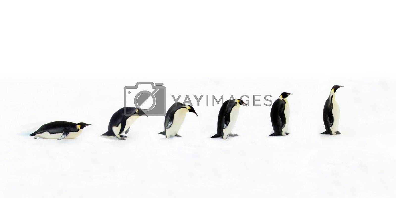 Evolution of the penguin. Once the penguin was a backward belly gliding animal, however with multiple tiny evolutionary steps over billions of years the penguin became on of the most advanced long-neck animals we know of.
