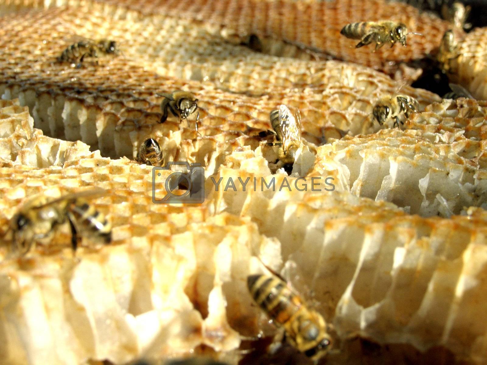 The bee which bears sweet honey