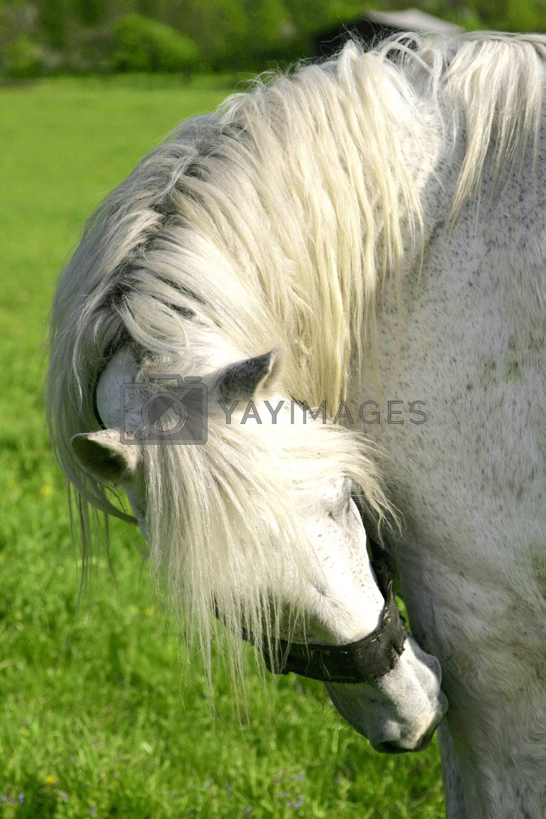 The horse is grazed on a lawn