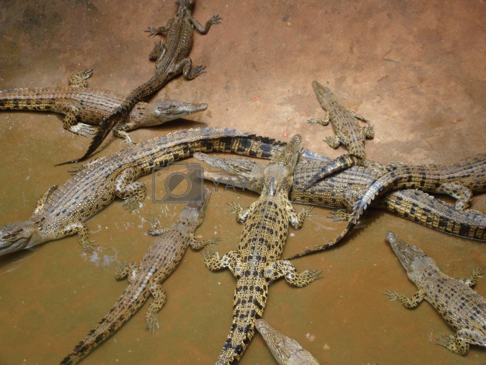 Hungry Family Crocodiles and their posterity ashore