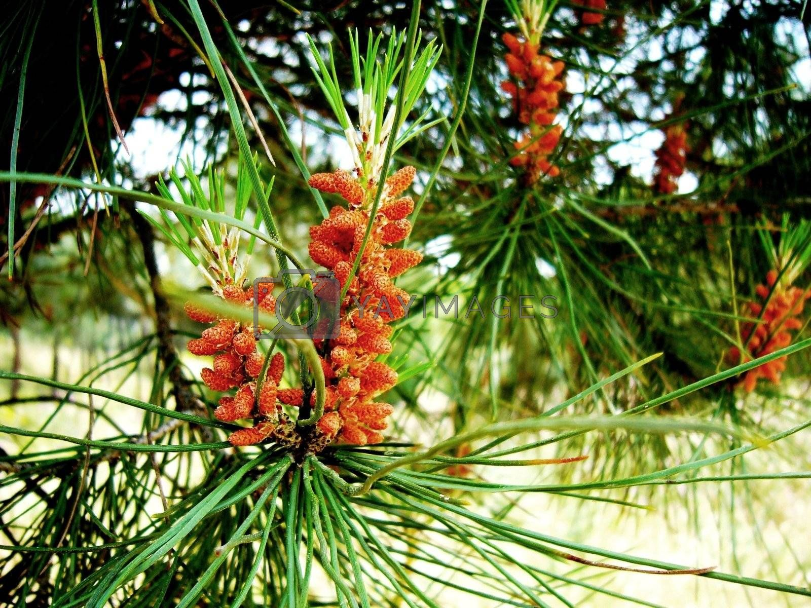 Pine cones by KGM
