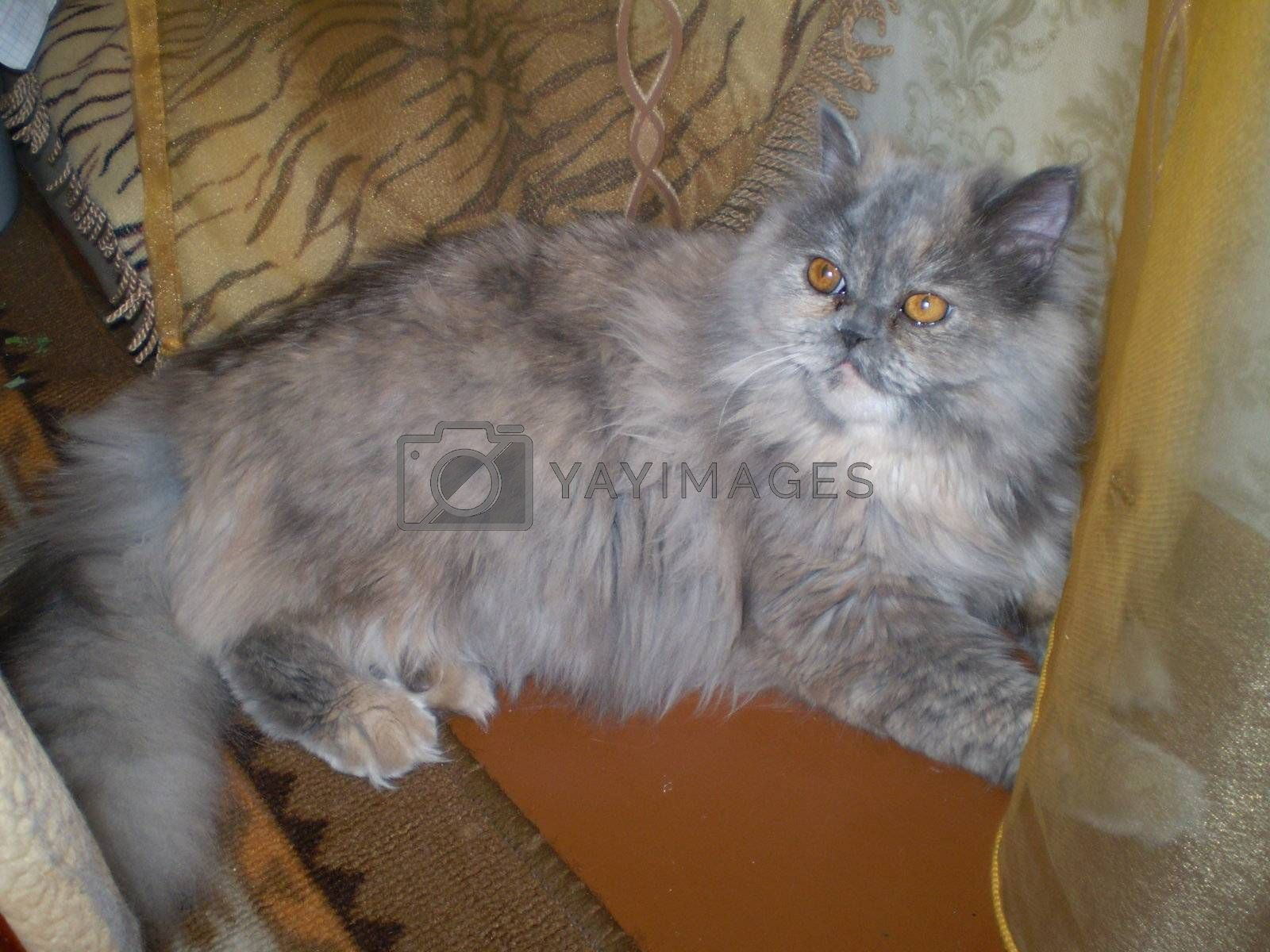 Cat of the persian sort blue paint champion of the exhibitions