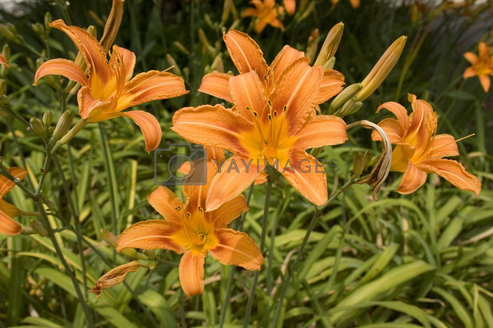 A group of blooming daylilies.