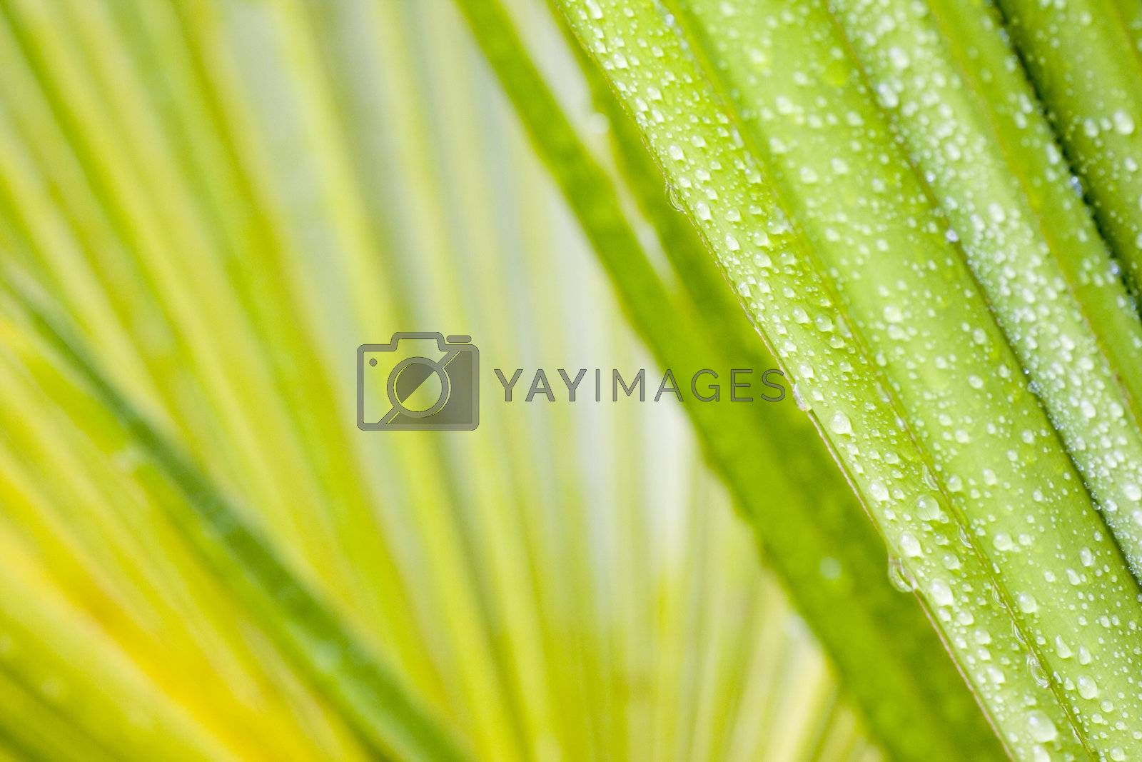 Close-up of drops of water on a leaf of a palmtree