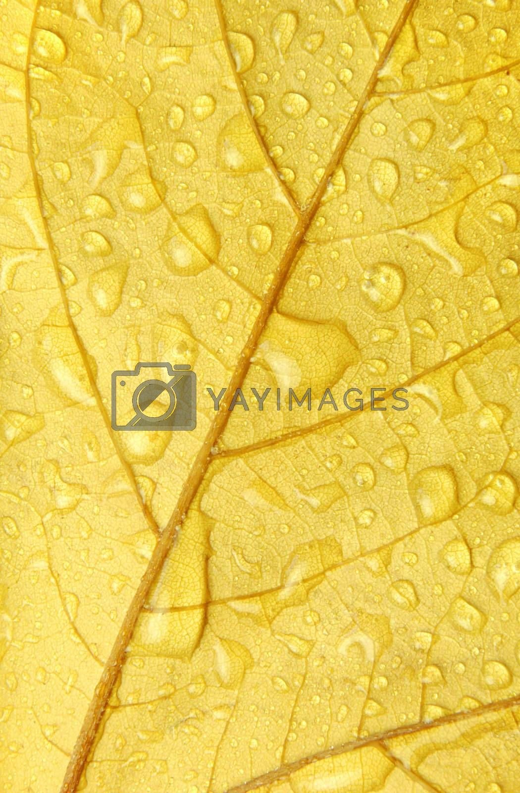 autumn golden leaf covered with water droplets
