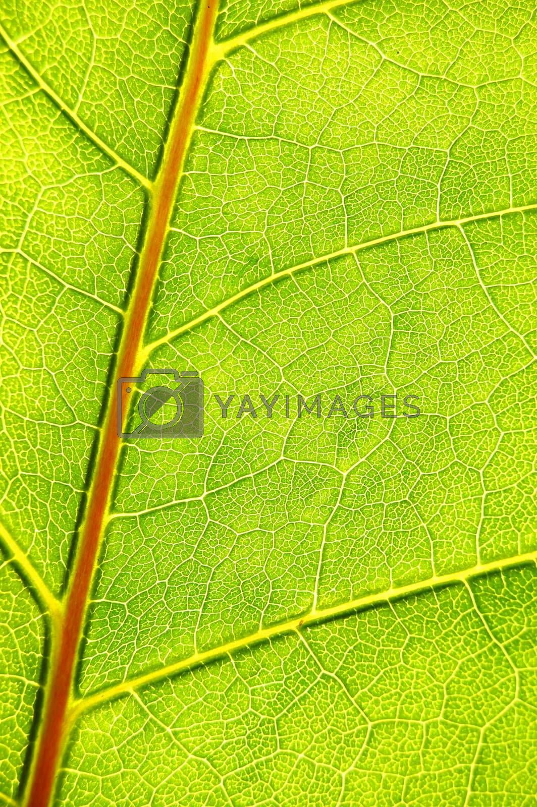 structure and texture of green leaf can be used as background