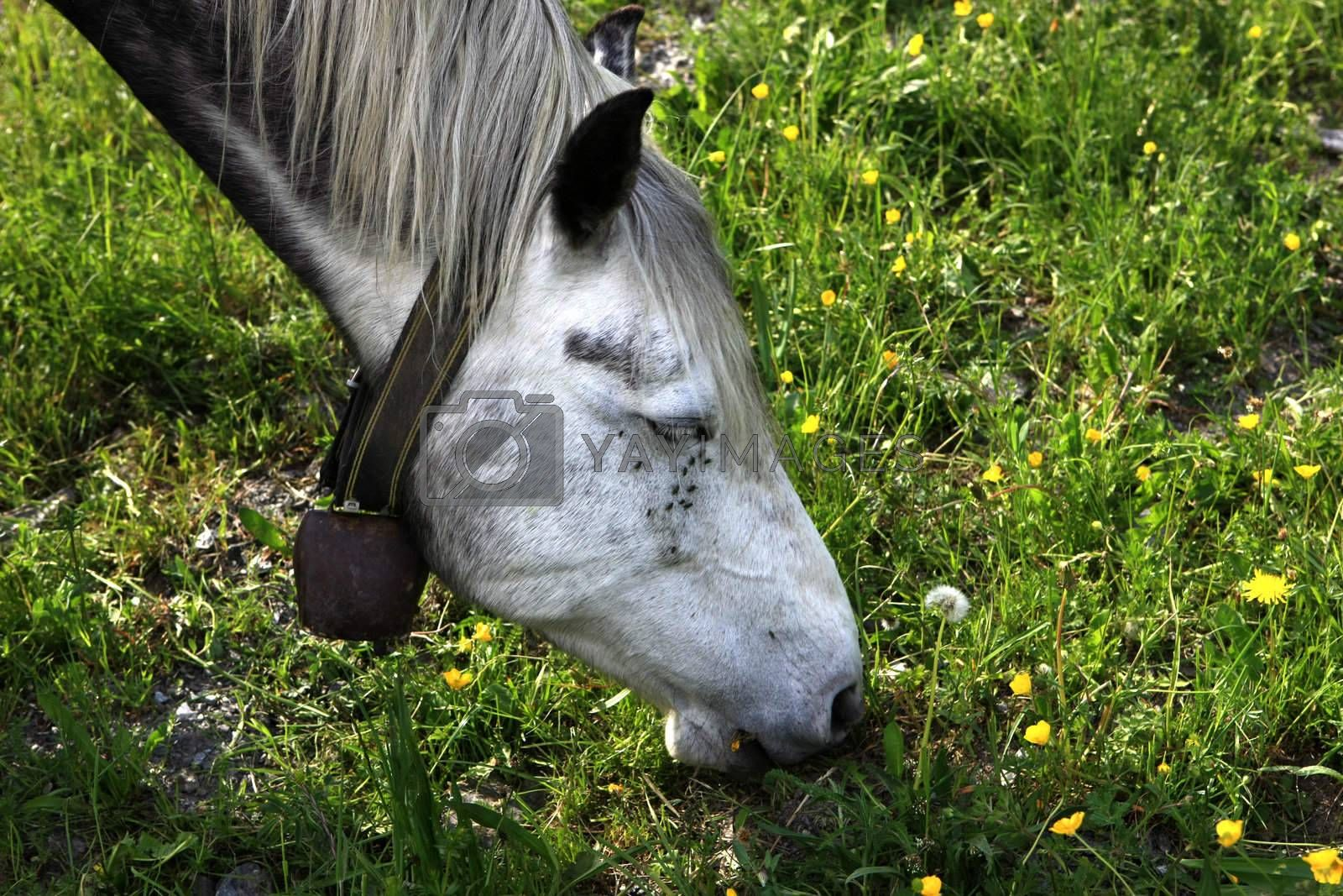 Royalty free image of Horse Eating by monner