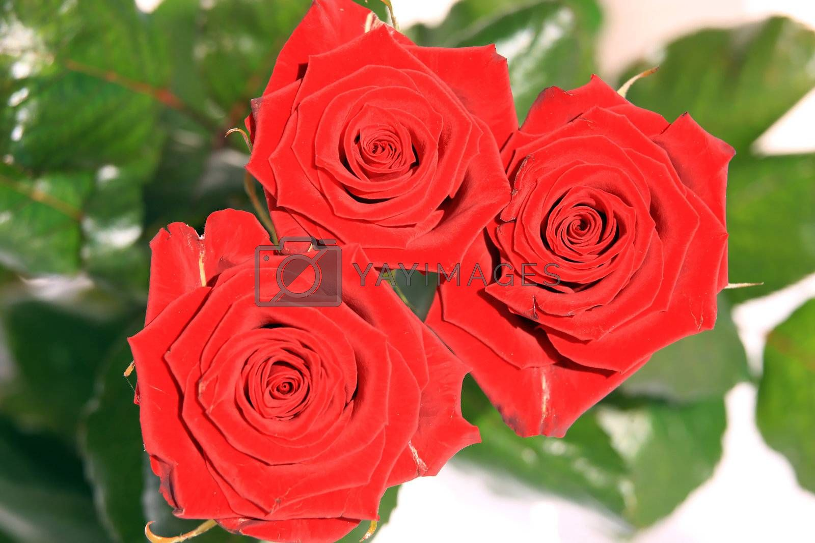 Royalty free image of Red Roses by monner