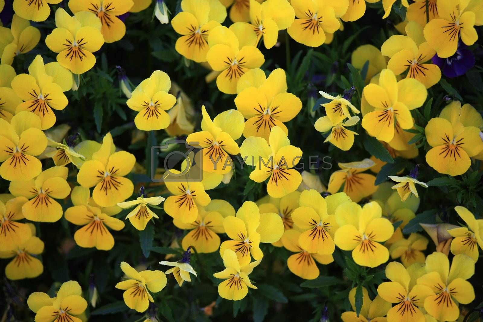 Royalty free image of Viola Tricolor by monner