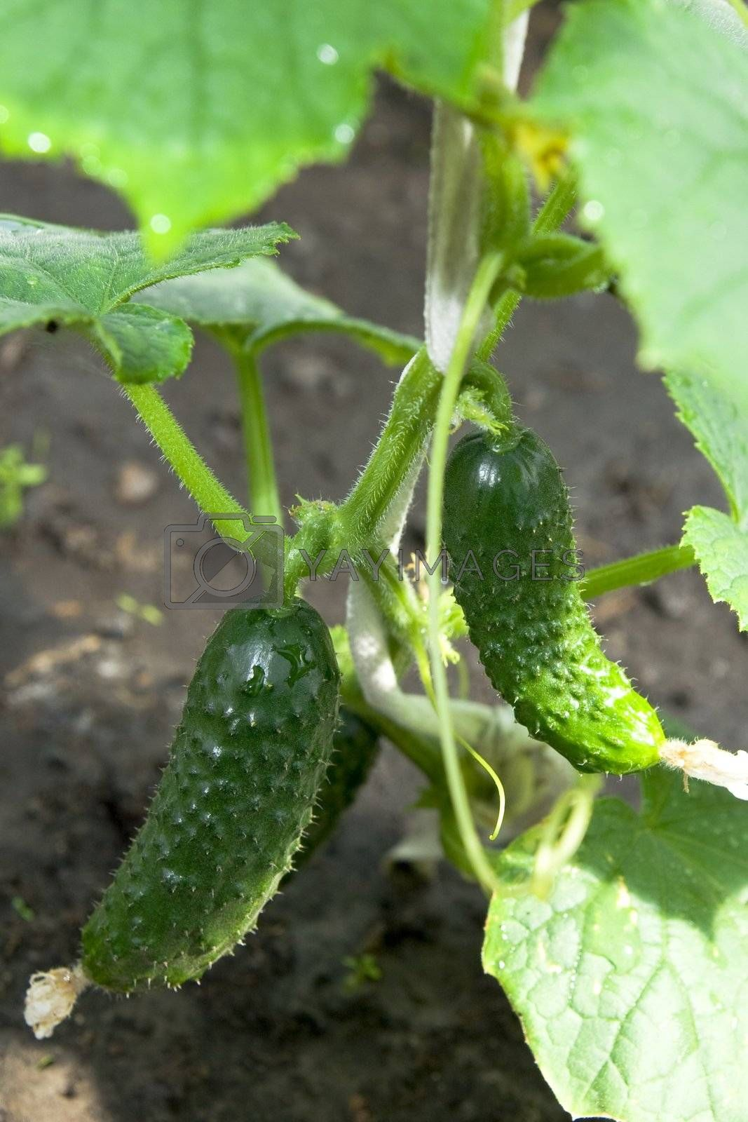 Green Cucumber on the vine