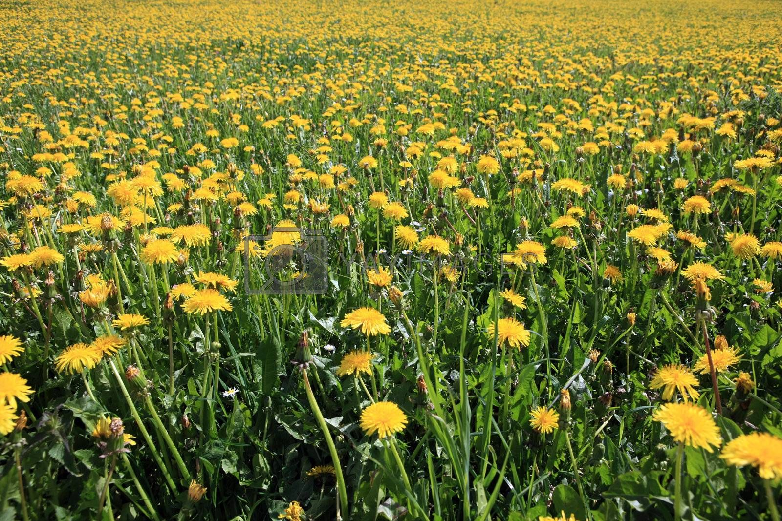 Royalty free image of Dandelion Field by monner