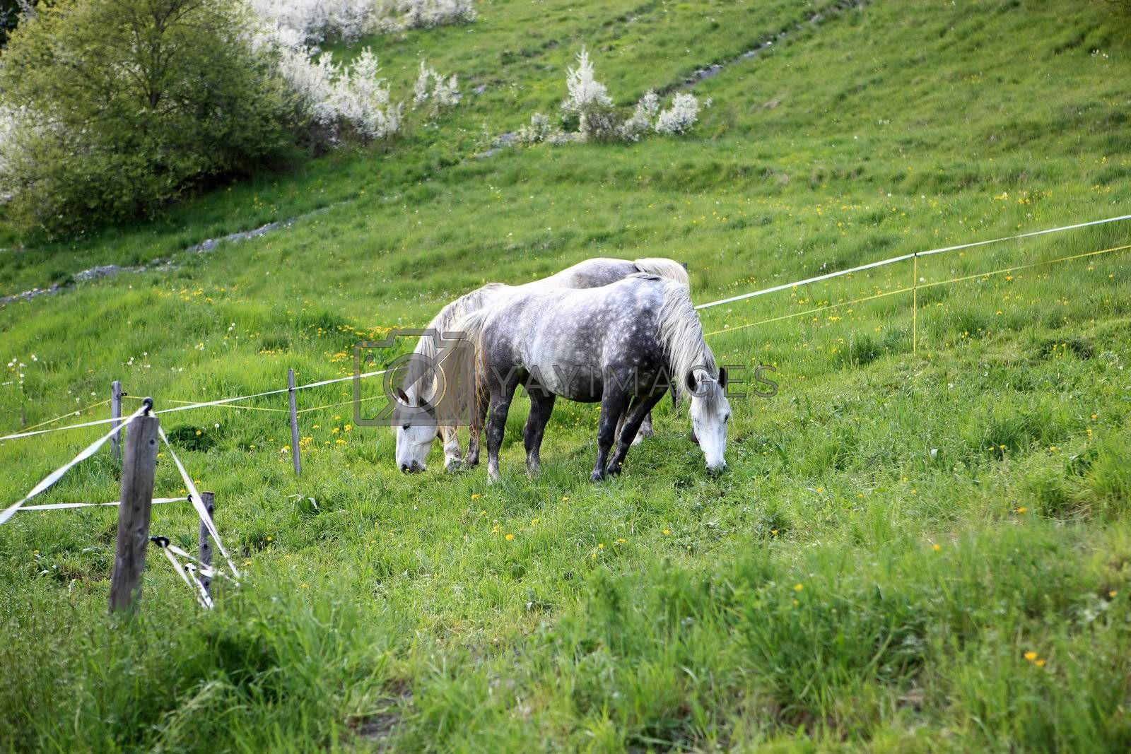 Royalty free image of Two Horses eating by monner