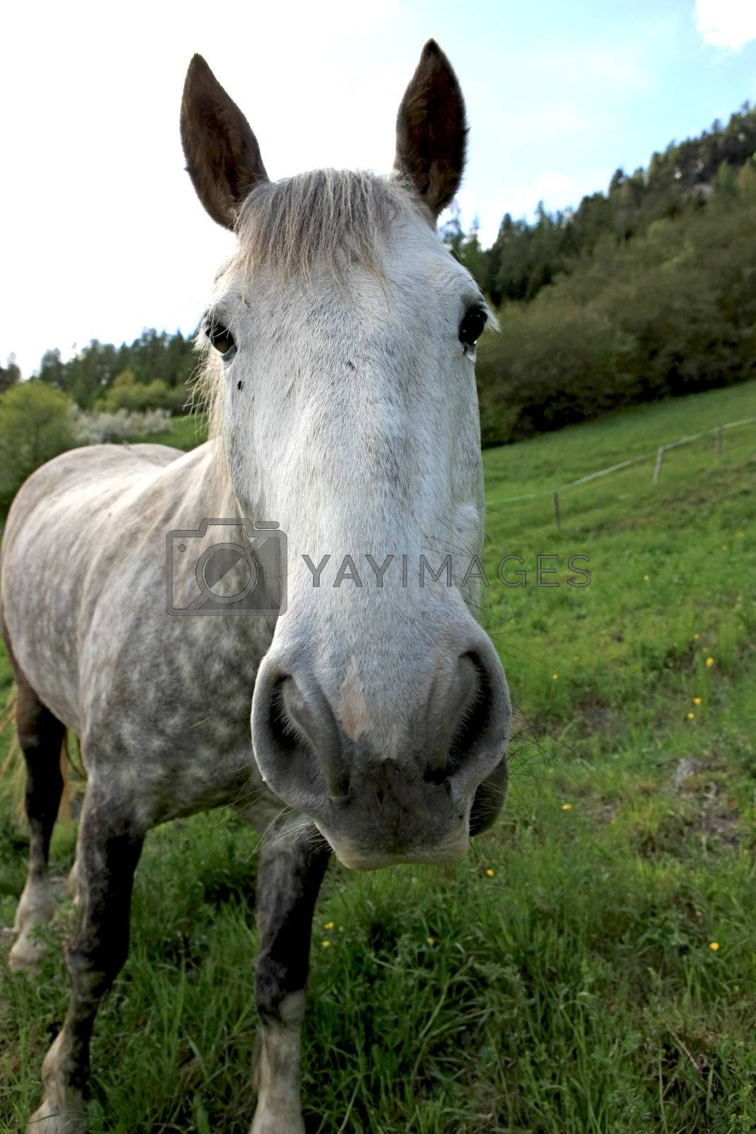 Royalty free image of Horse by monner