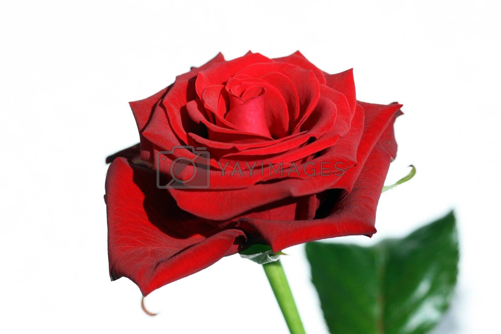Royalty free image of Red Rose by monner