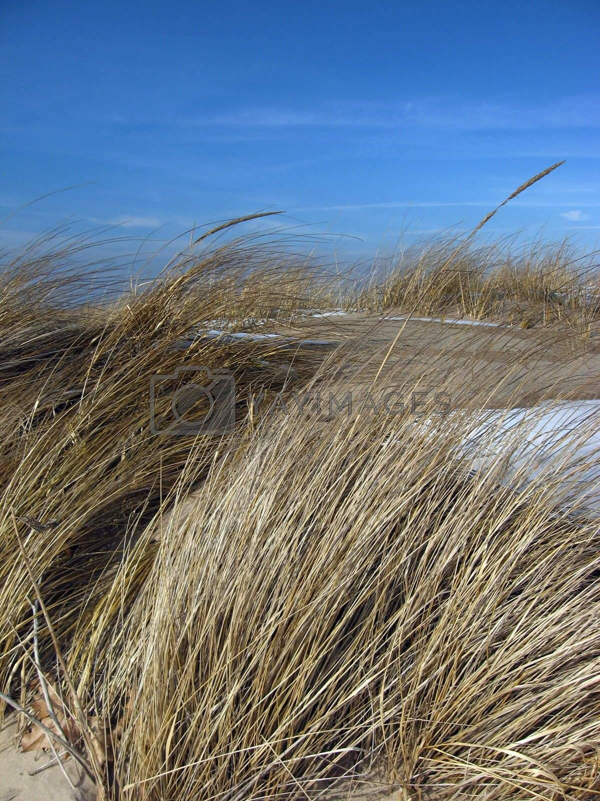 Beach Grass, Blowing in the Winter Wind by loongirl