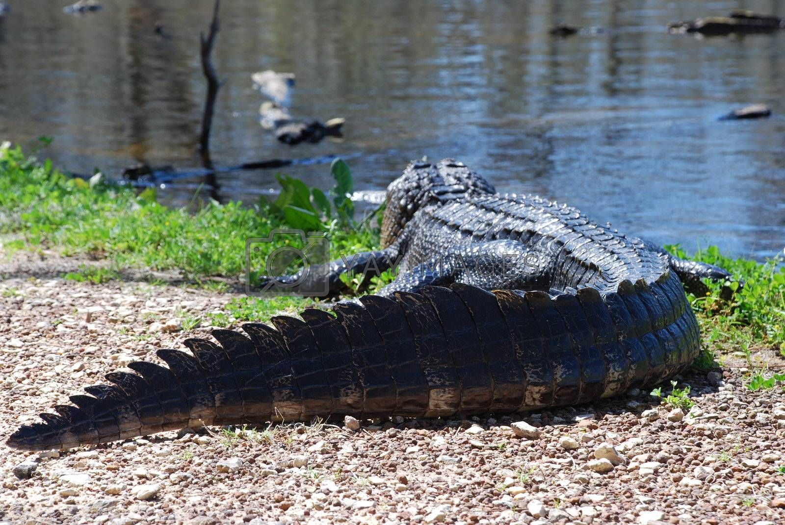 Brazos Bend State park in Texas.  Great gator shots.