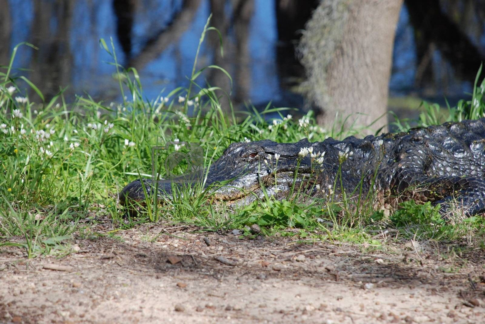Alligator on the pathway in Brazos Bend State Park in Texas.