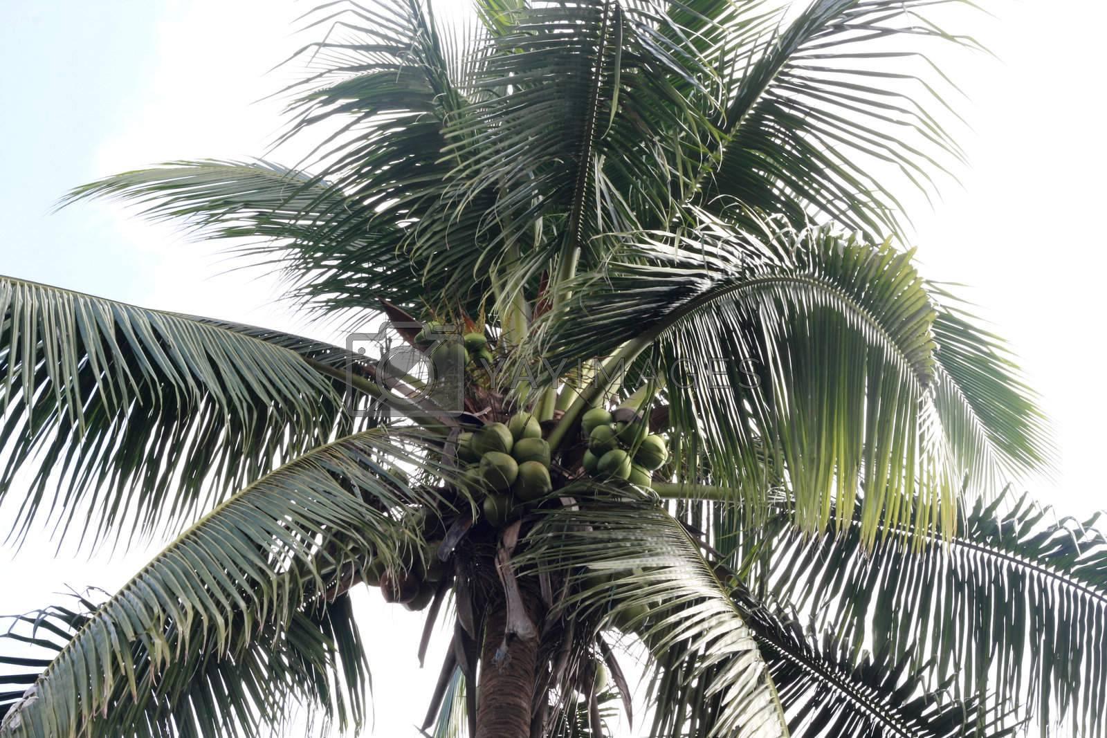 Coconut Palm Tree by sacatani