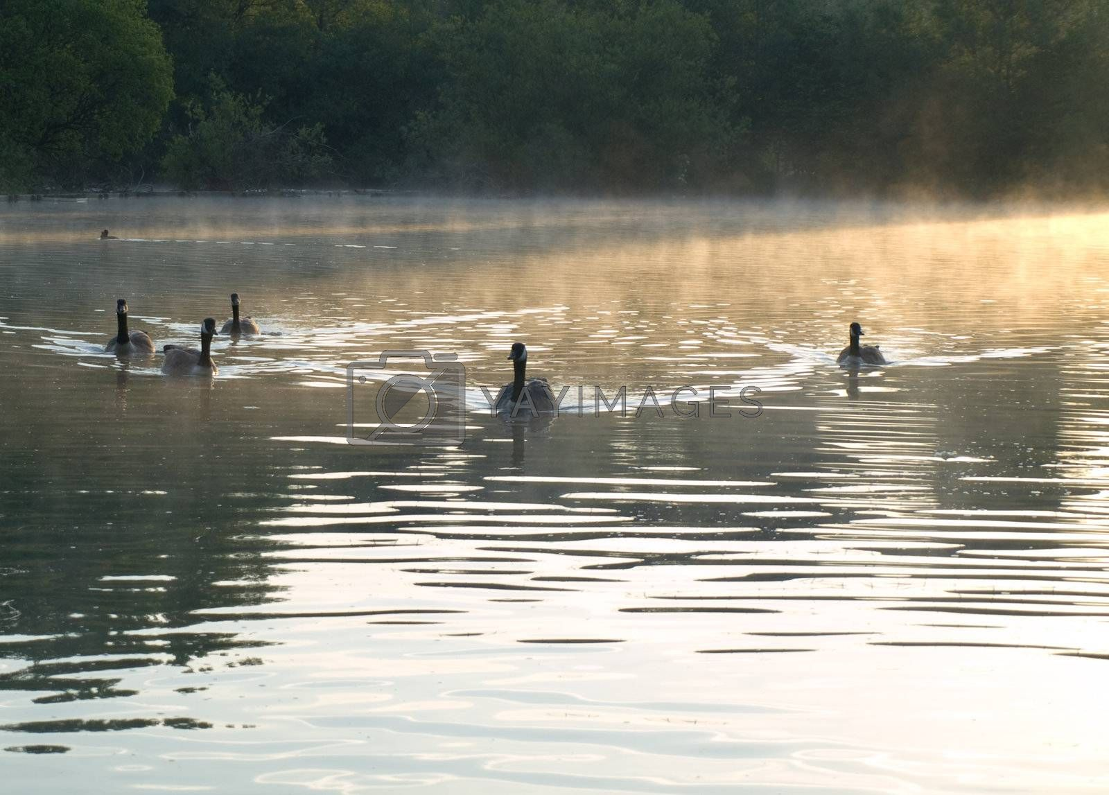 Ducks and Geese on a Misty English Pond Early in The Morning