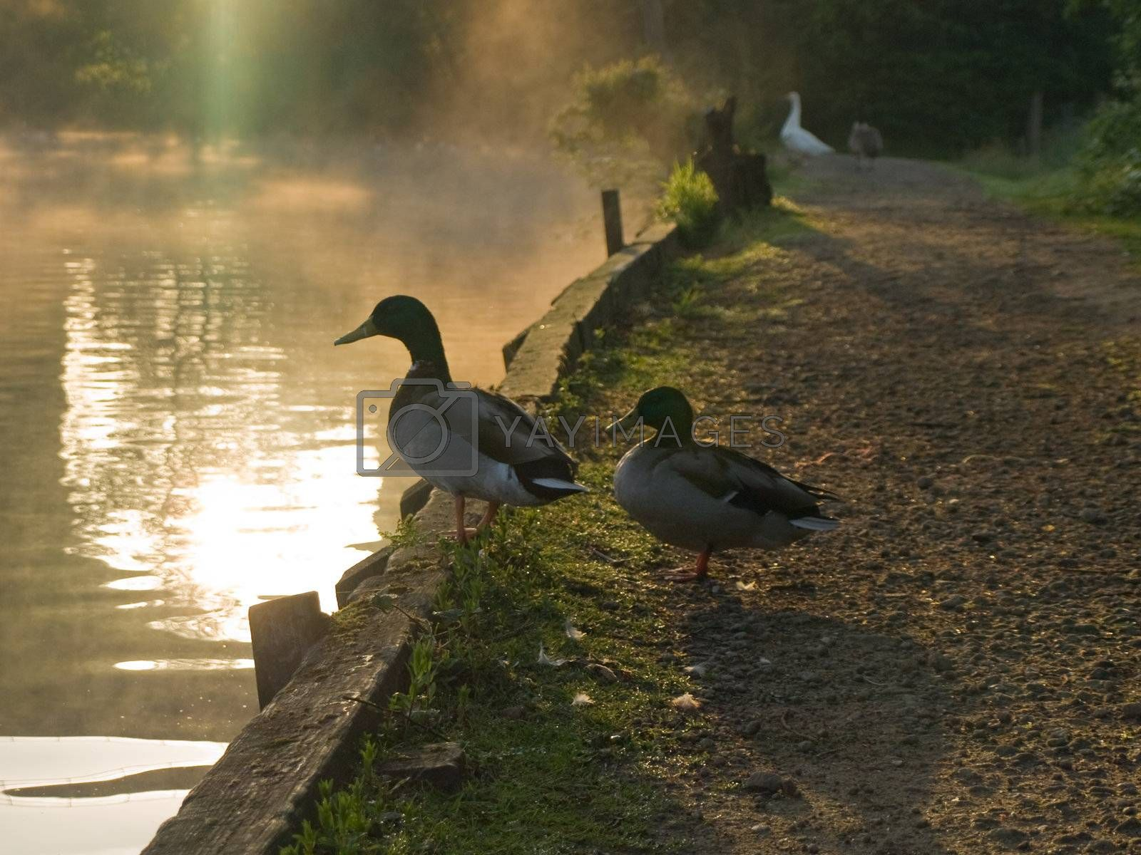 Two Ducks Standing By The Lakeside at Sunrise