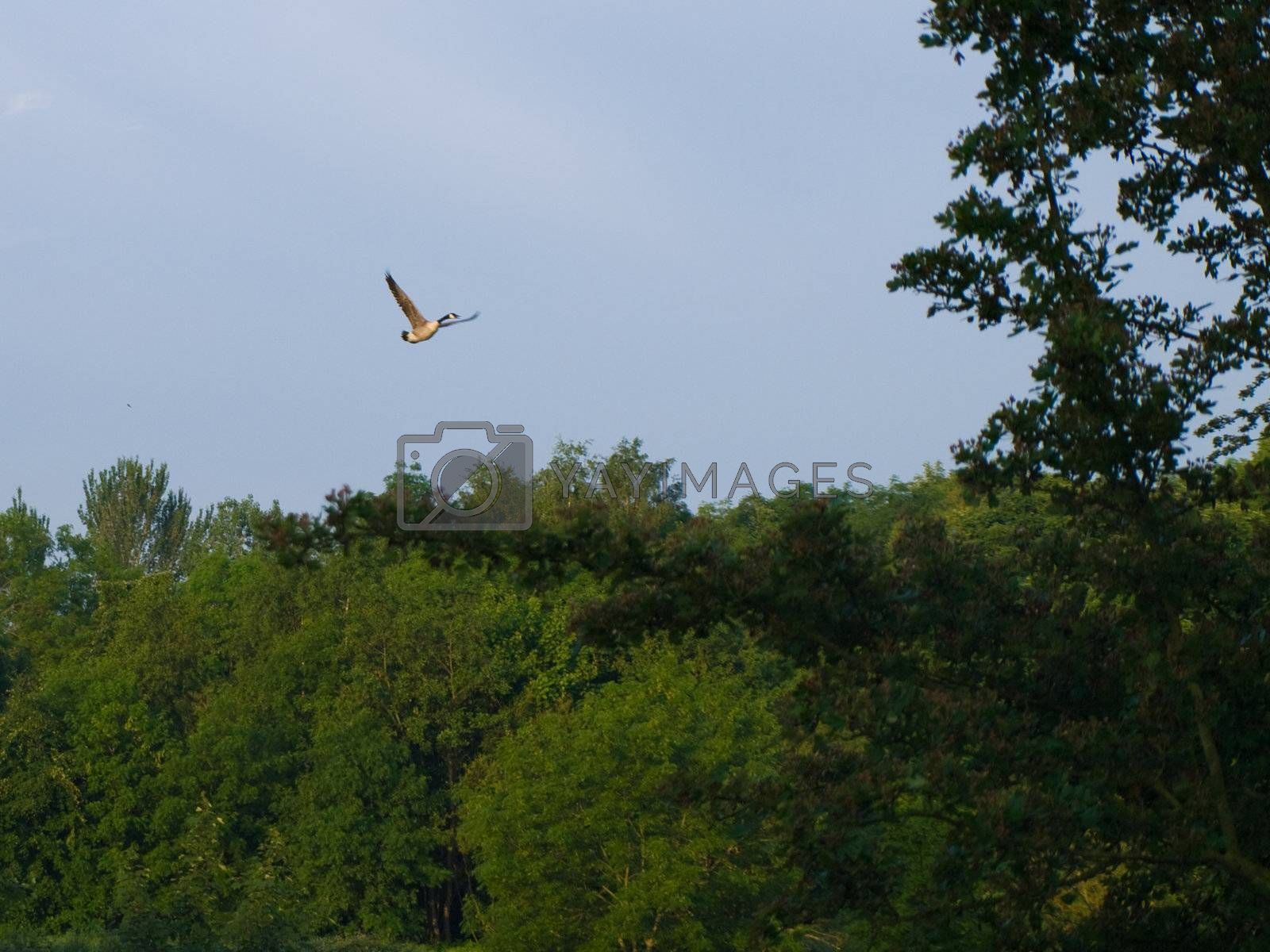 Canadian Goose Flying Over British Trees