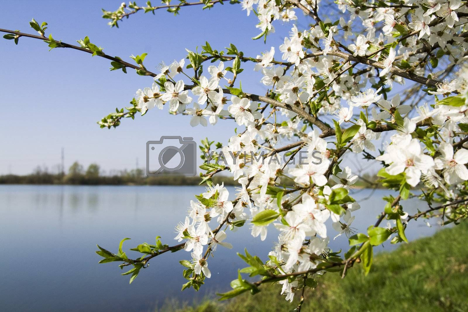 Close up shot of white cherry blossoms with the background out of focus.