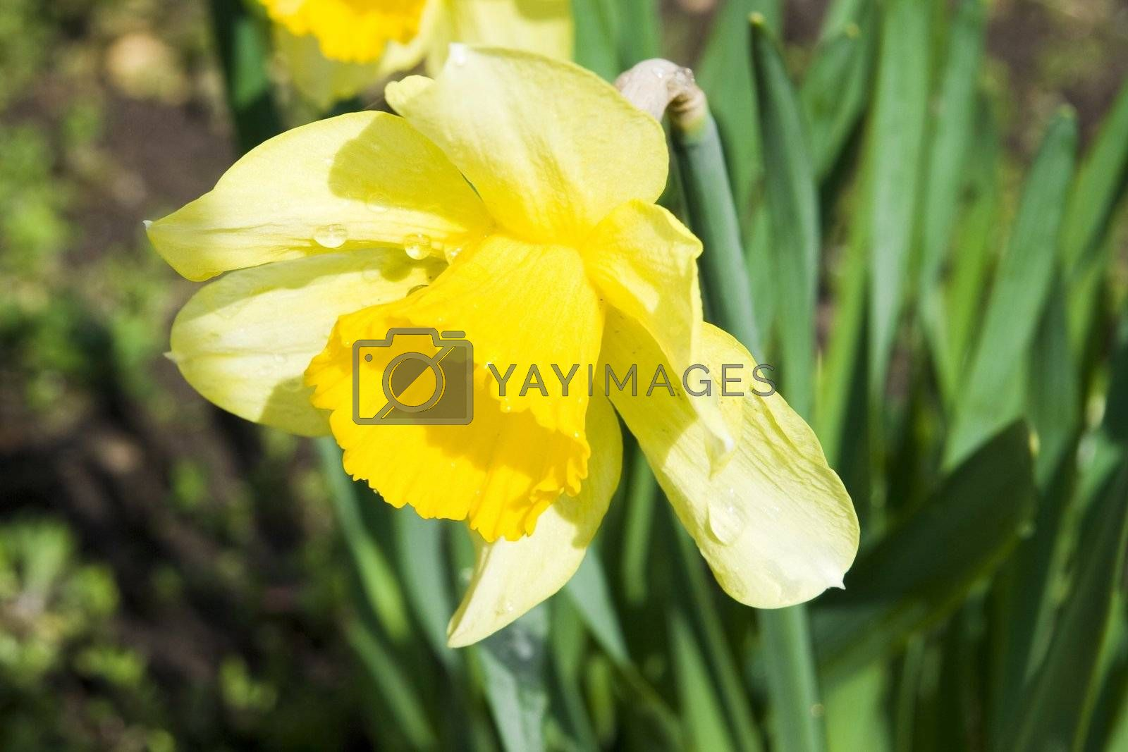 Very shallow depth-of-field image of the first flower of spring