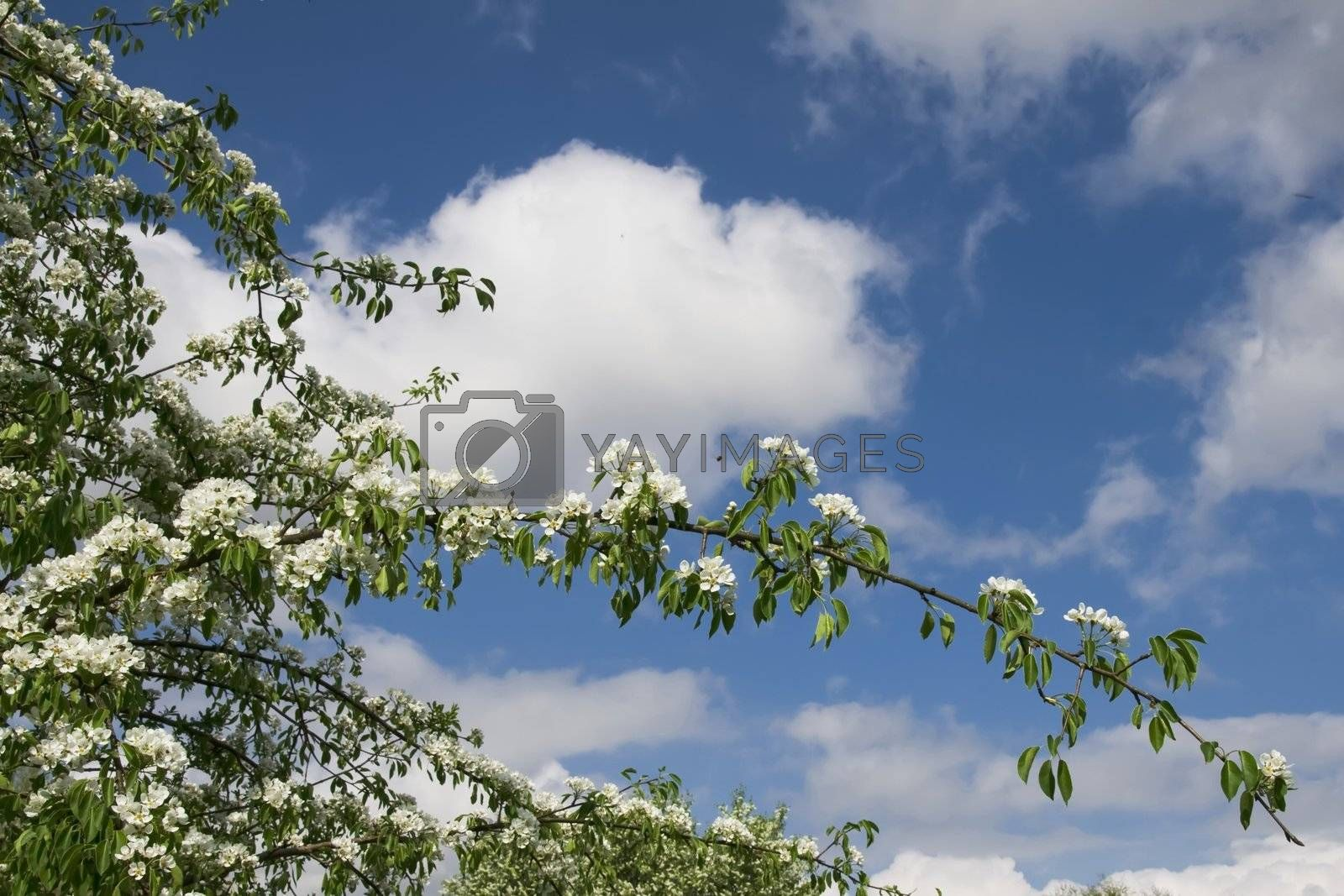 Blooming fruit tree on the blue sky with white clouds