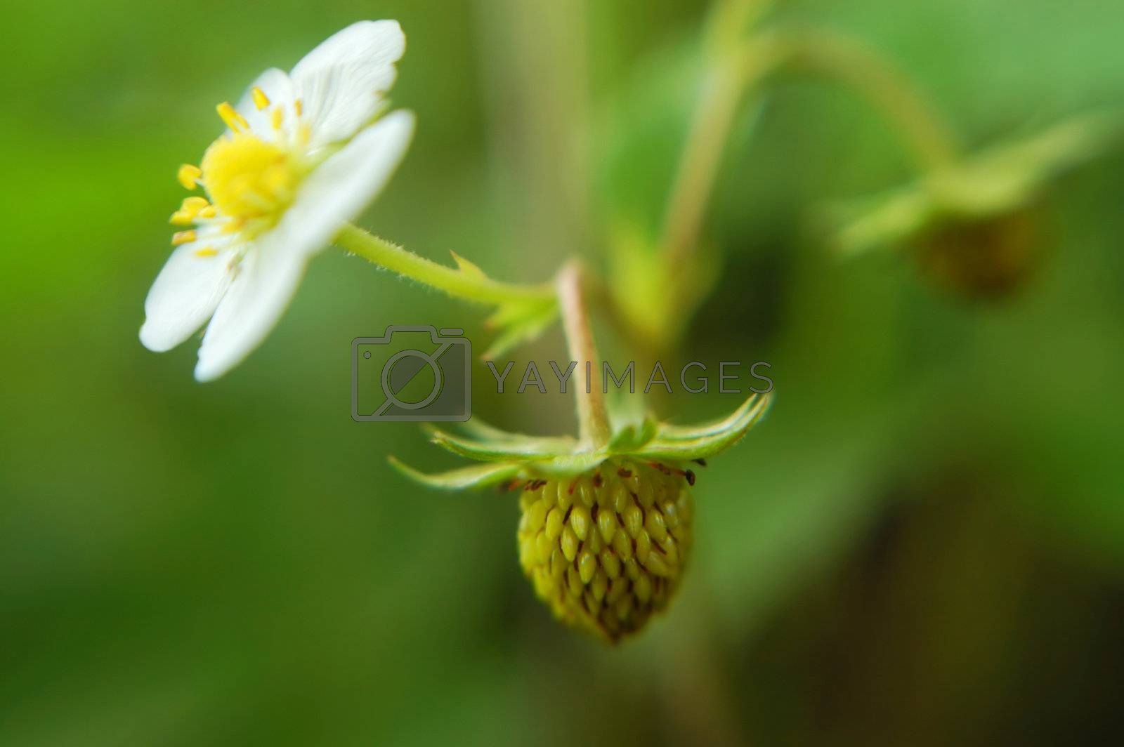 An unripe strawberry hangs delicately in the forefront of this image, while a blossom is seen to the side. Extreme shallow depth of focus gives this image a unique and wonderful feel.