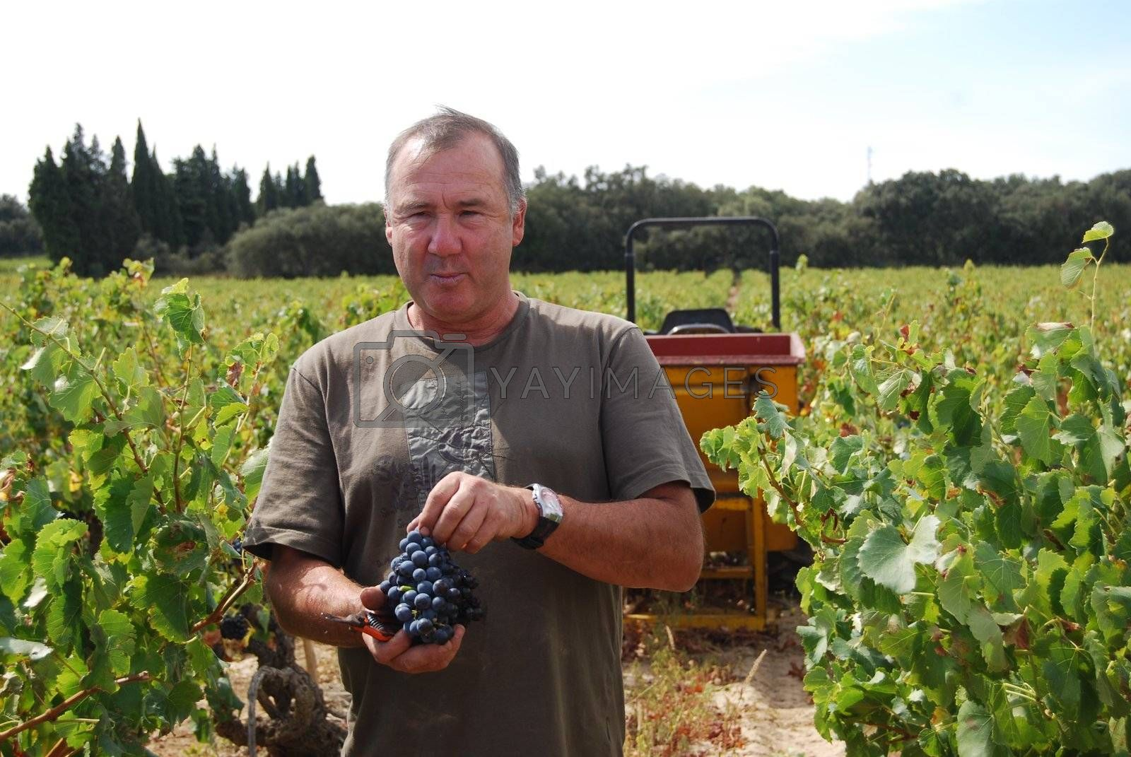 Farmer at his wineyard in Provence, France