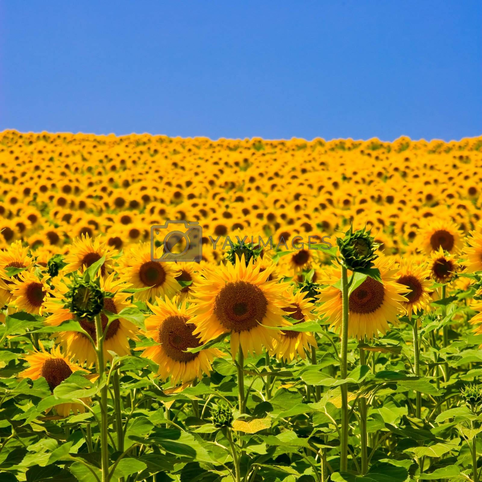 Sunflower field with bright blue sky.