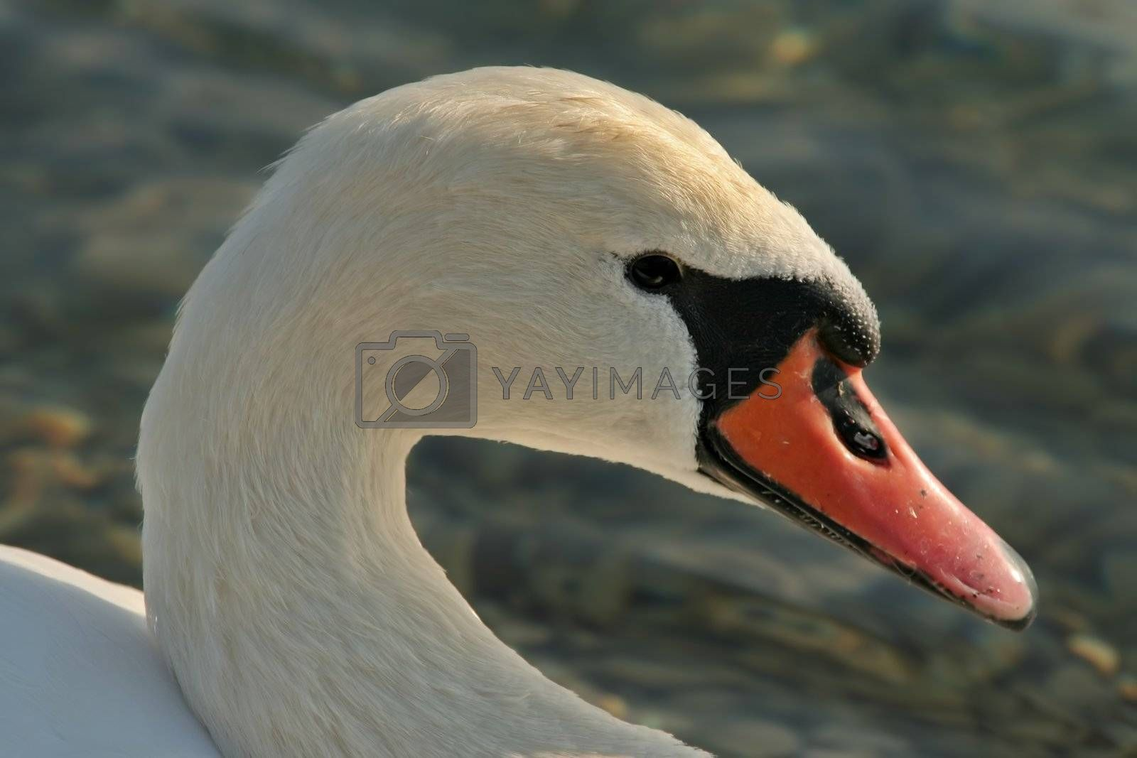 Head close up of adult swan