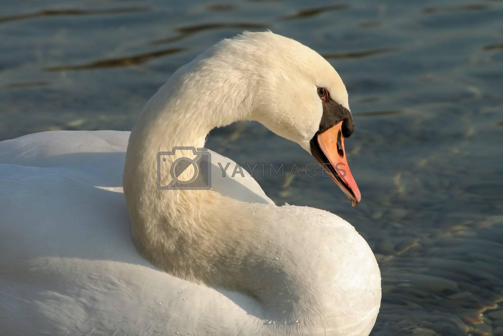 beautiful white swan on lake