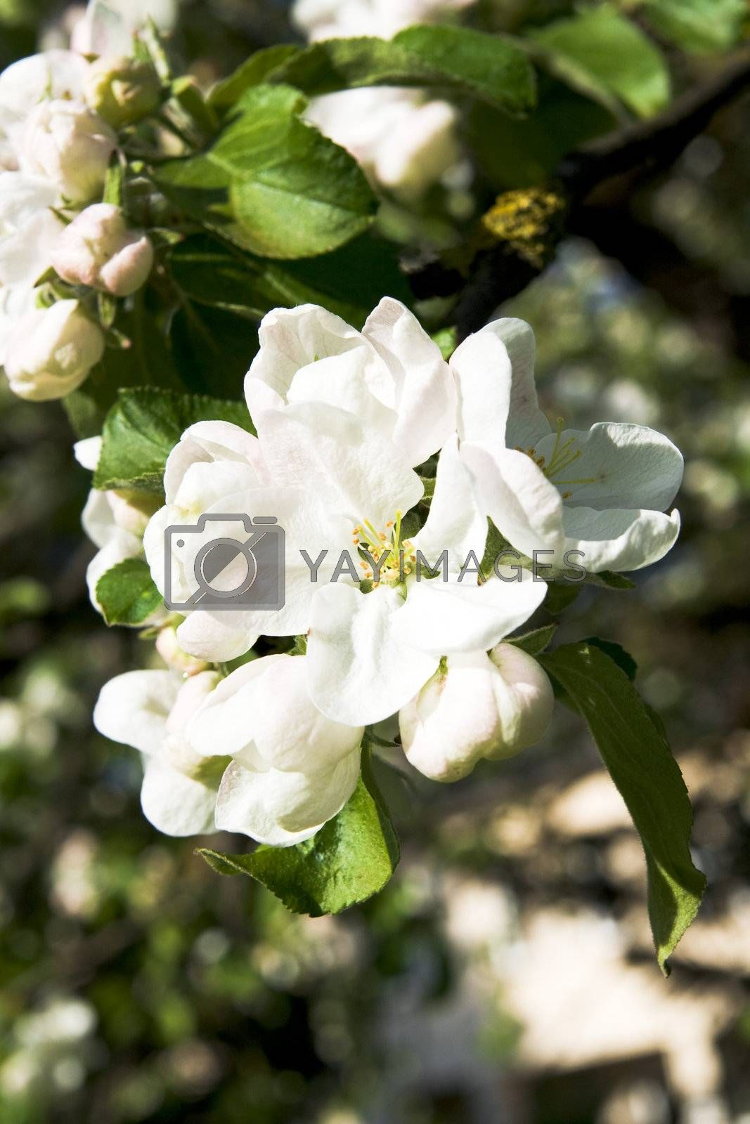 Apple blossom flower. Spring in Lithuania