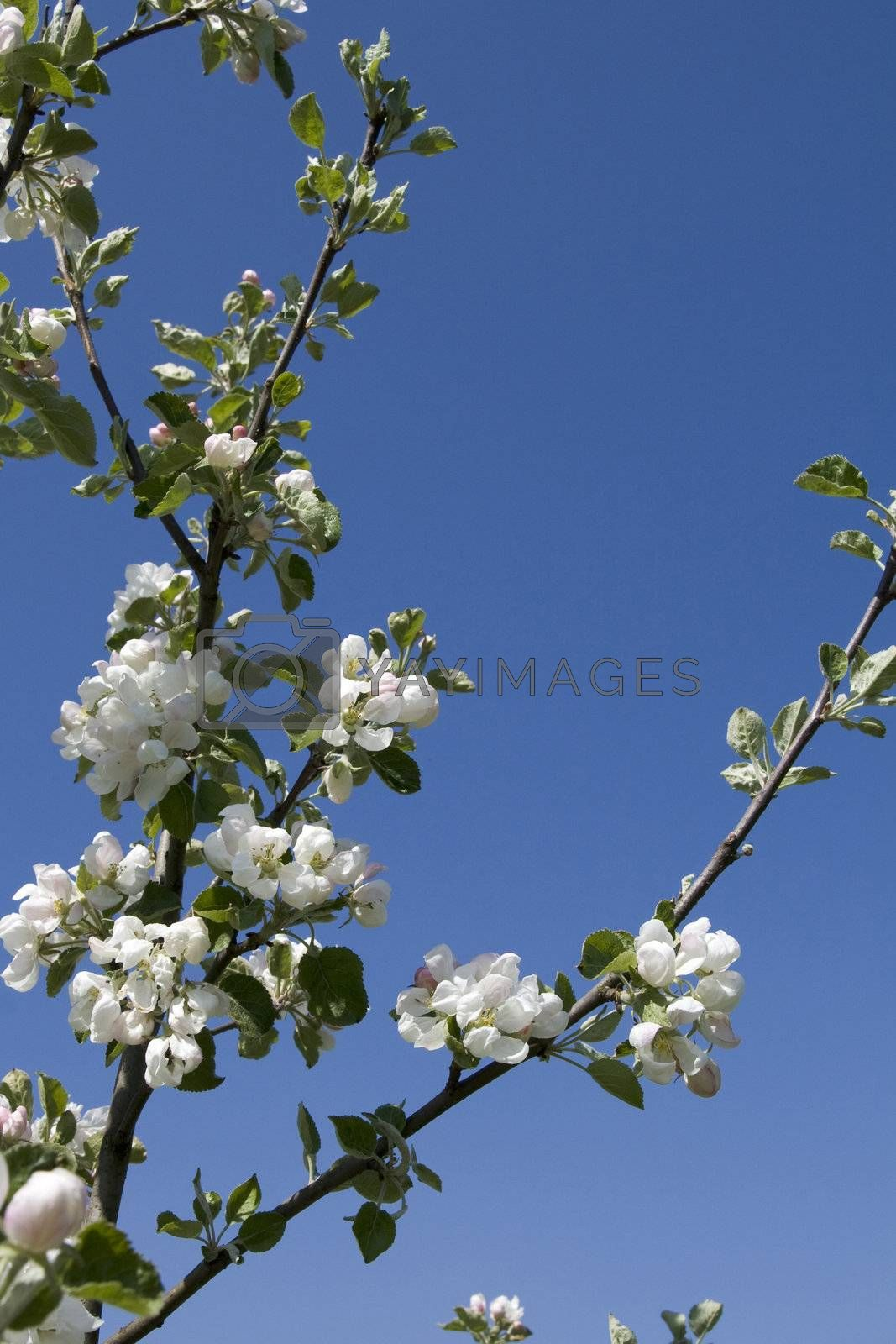Apple-tree branch on blue sky background