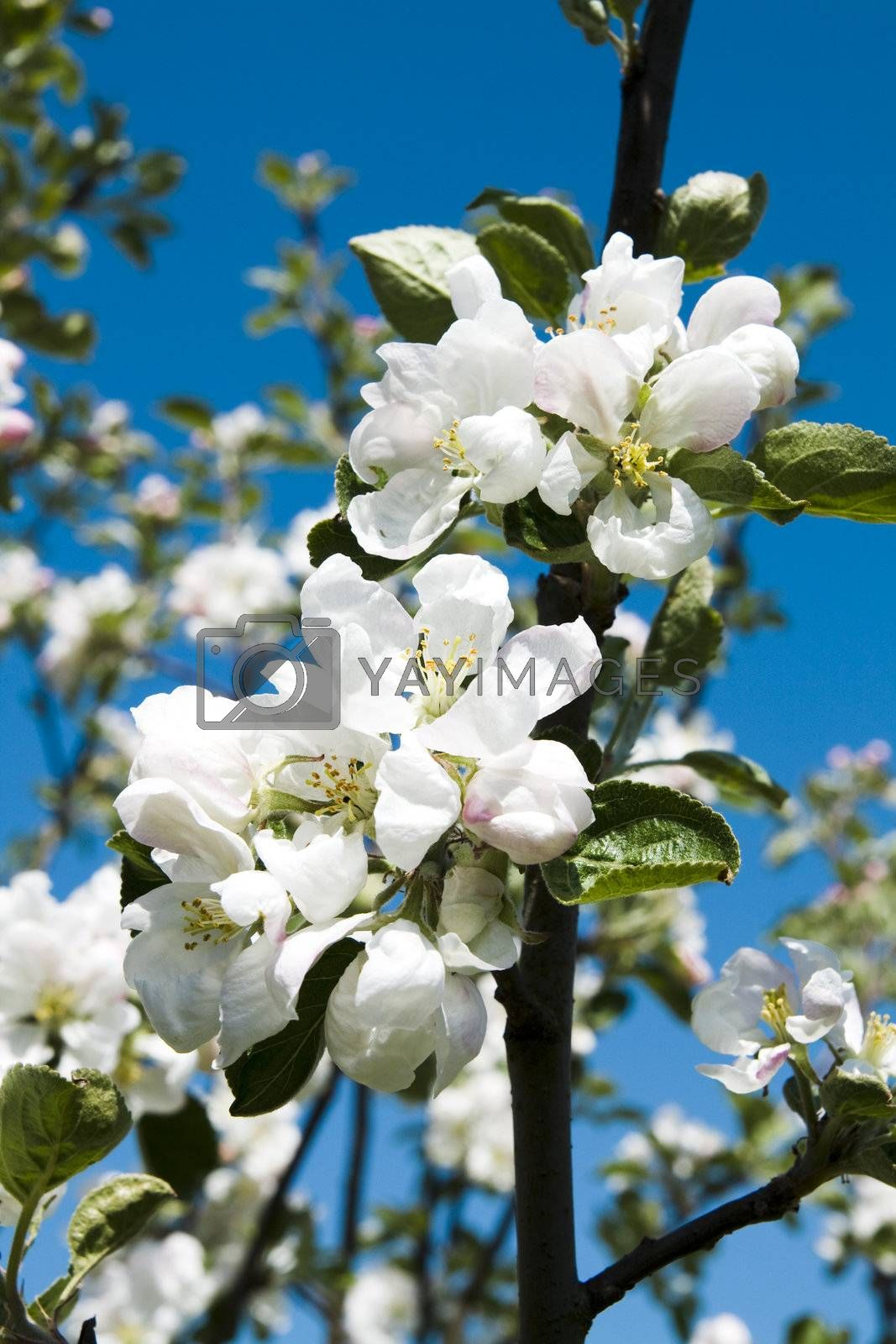 Branch apple-tree with beautiful flowers on blue sky background