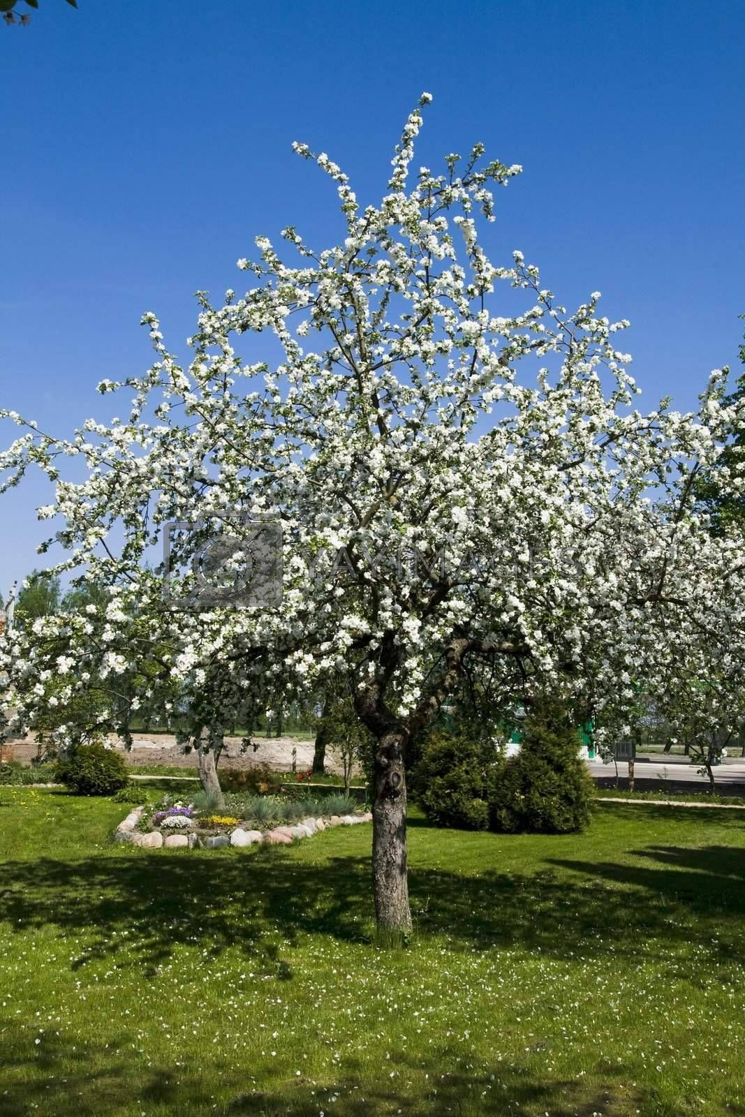 Blooming apple tree in a garden at springtime