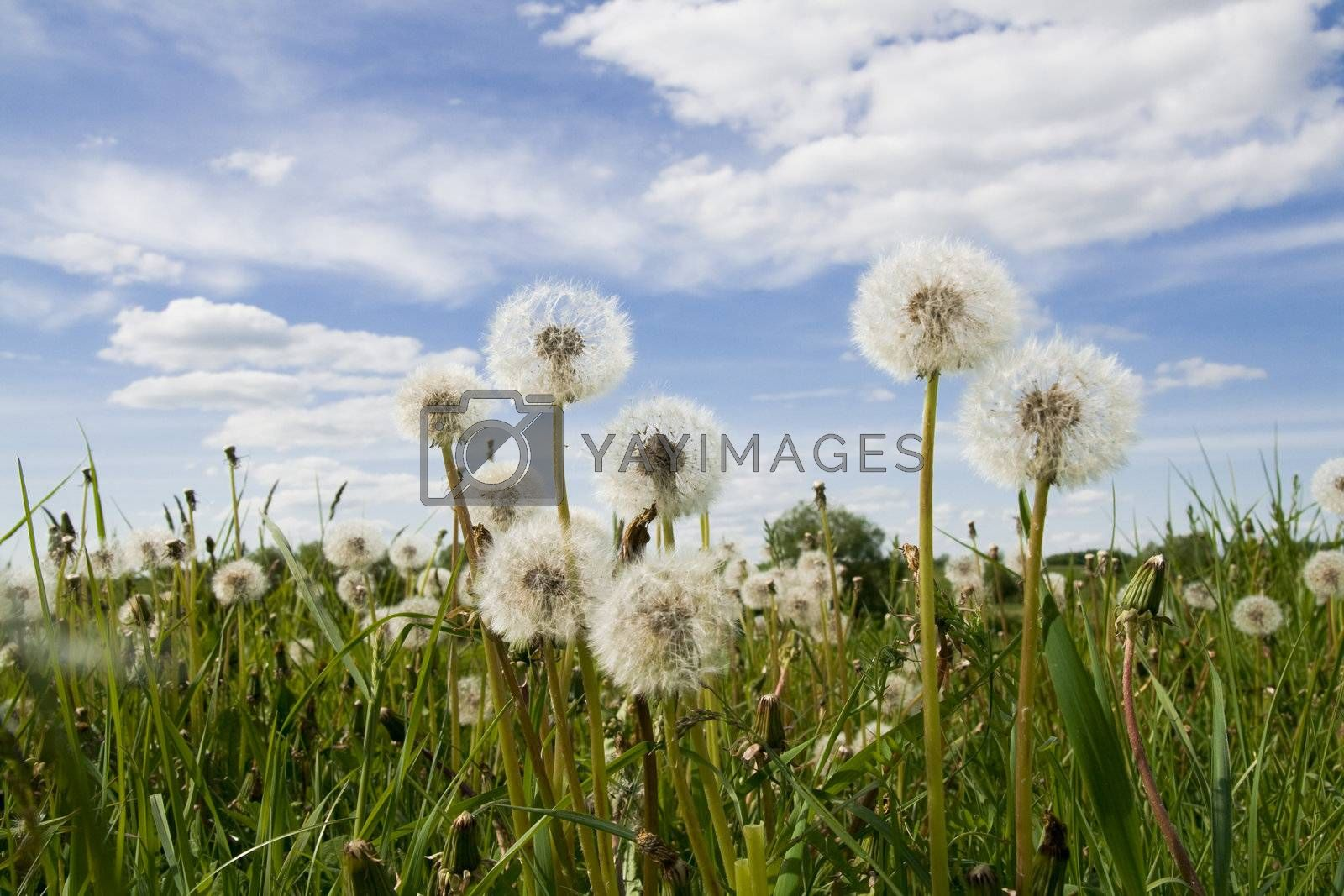 Extra close up of the dandelion on the cloudy sky background