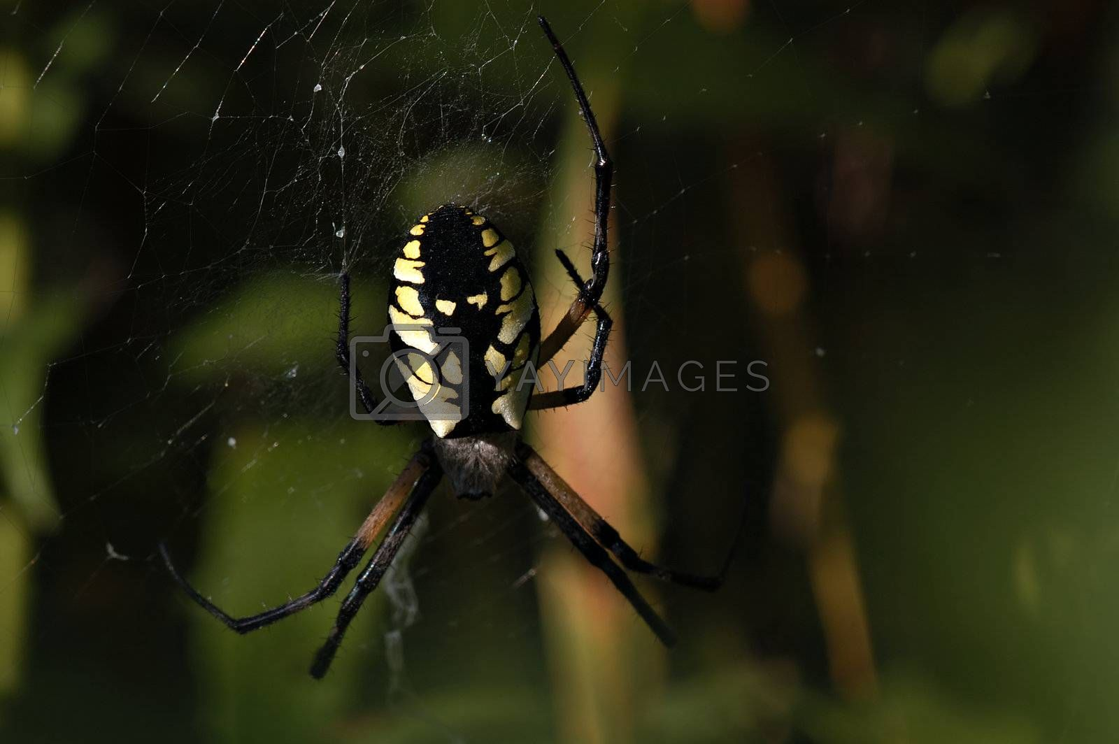 Close look at an average garden Spider.