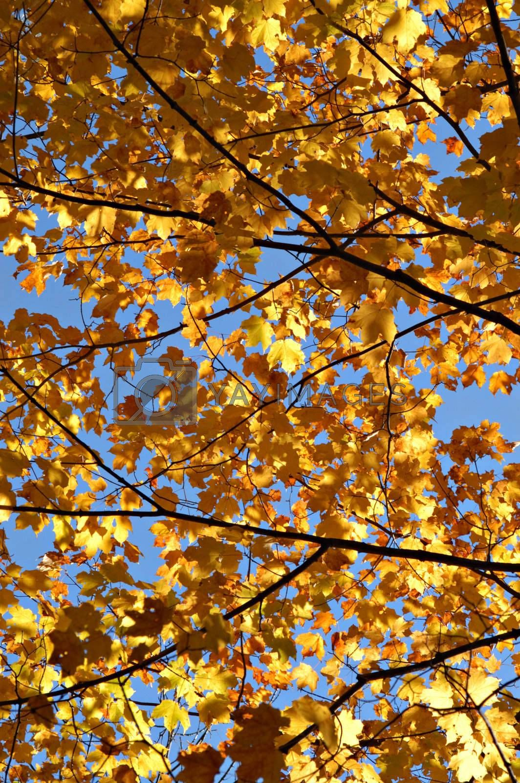 Vibrant golden leaves in fall against blue sky.