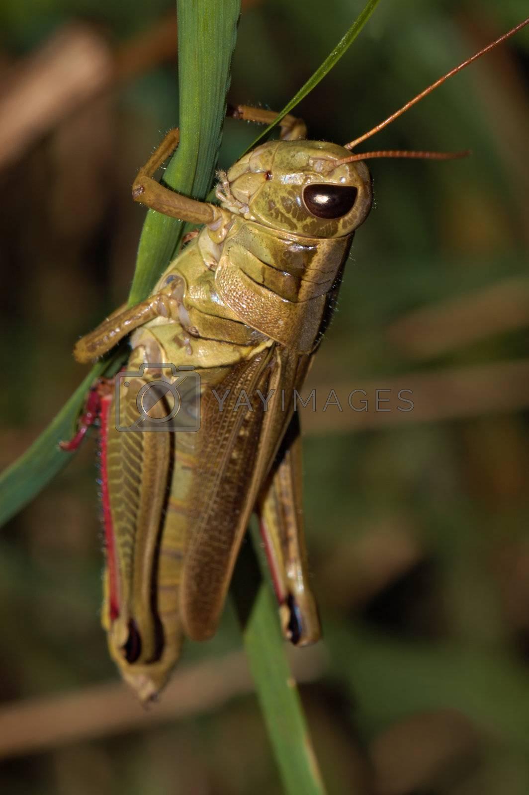Grasshopper  by MiragePhoto