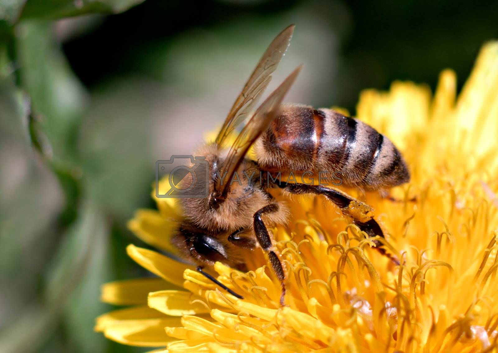 A honeybee searches for food on a dandelion. Macro shot.