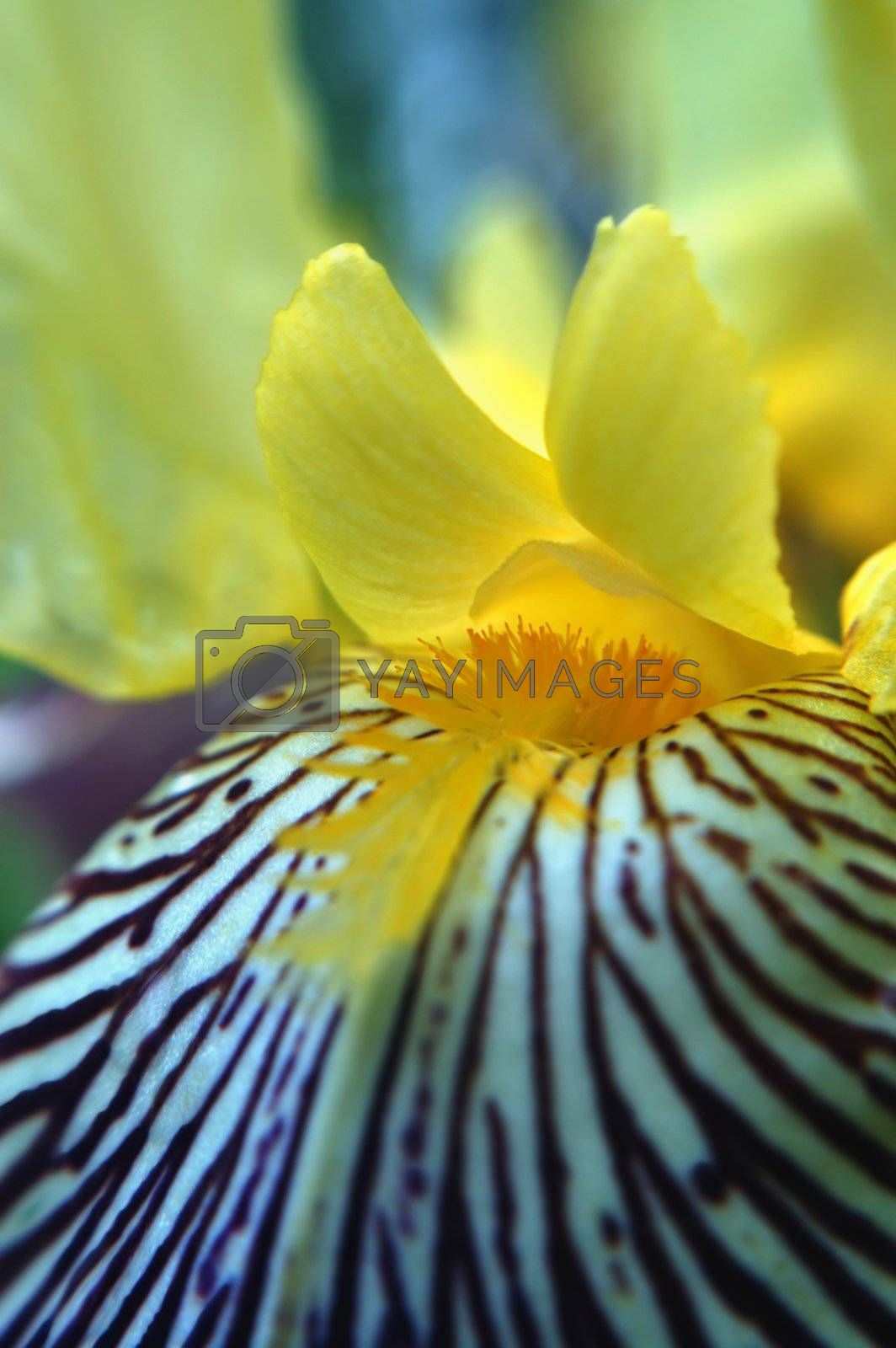 A beautiful purple & yellow Iris macro. To me, the center of the flower resembles a bird.