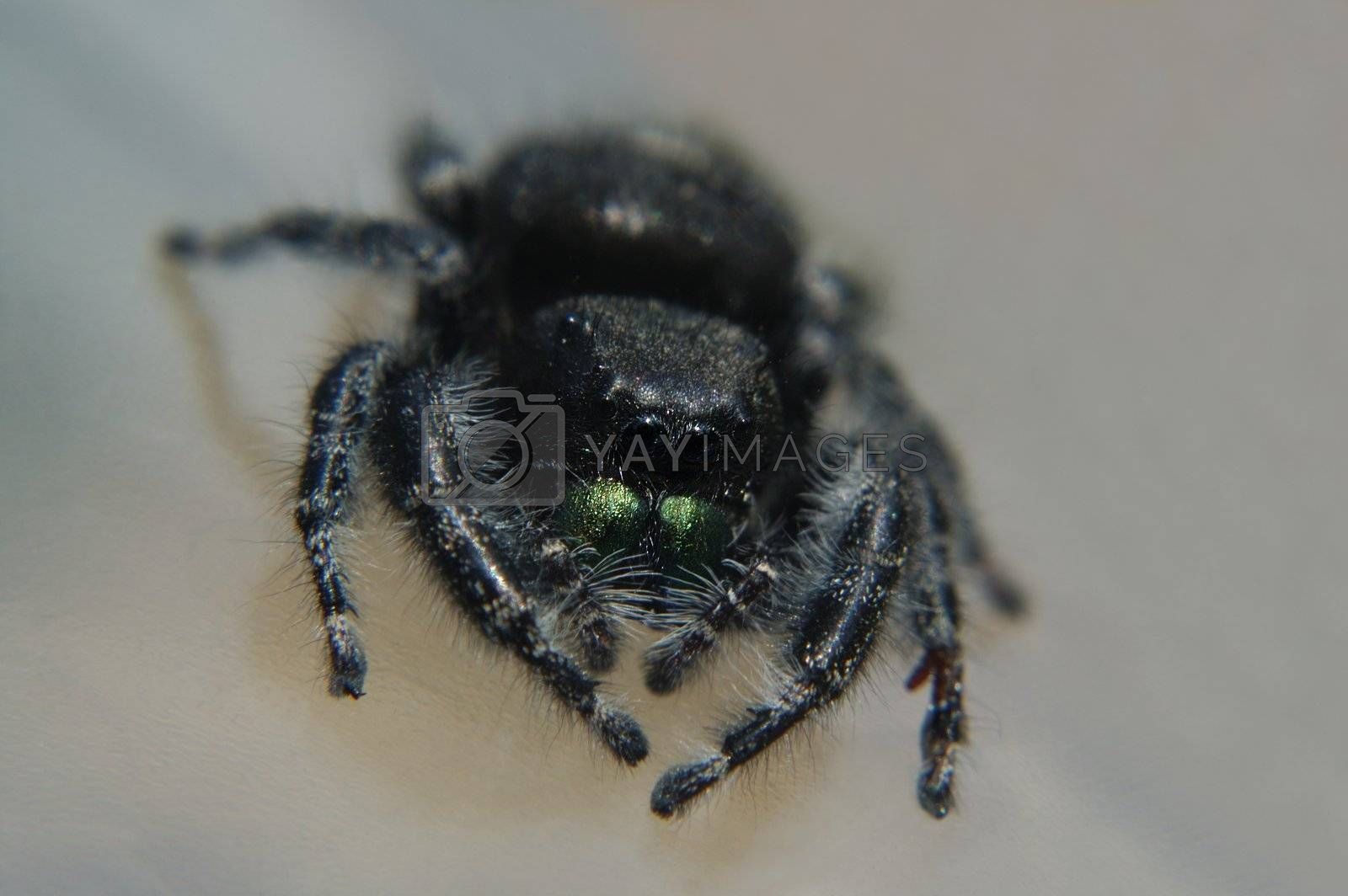 Macro of a jumping spider