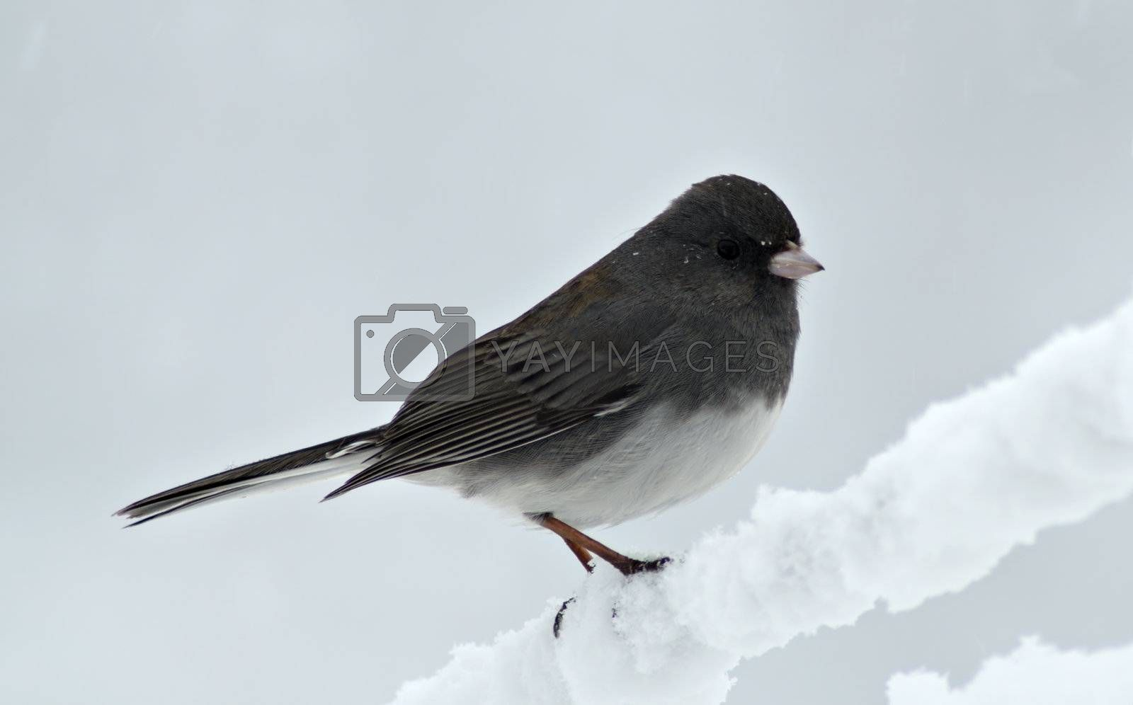 Junco in Snow storm by MiragePhoto