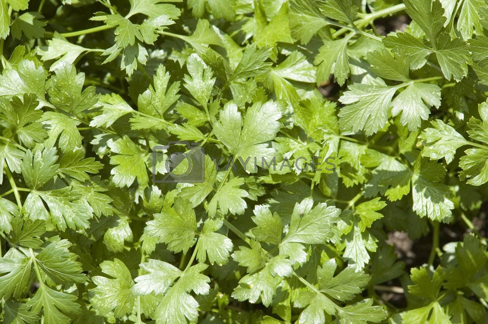 Cilantro Herb Leaves by suwanneeredhead
