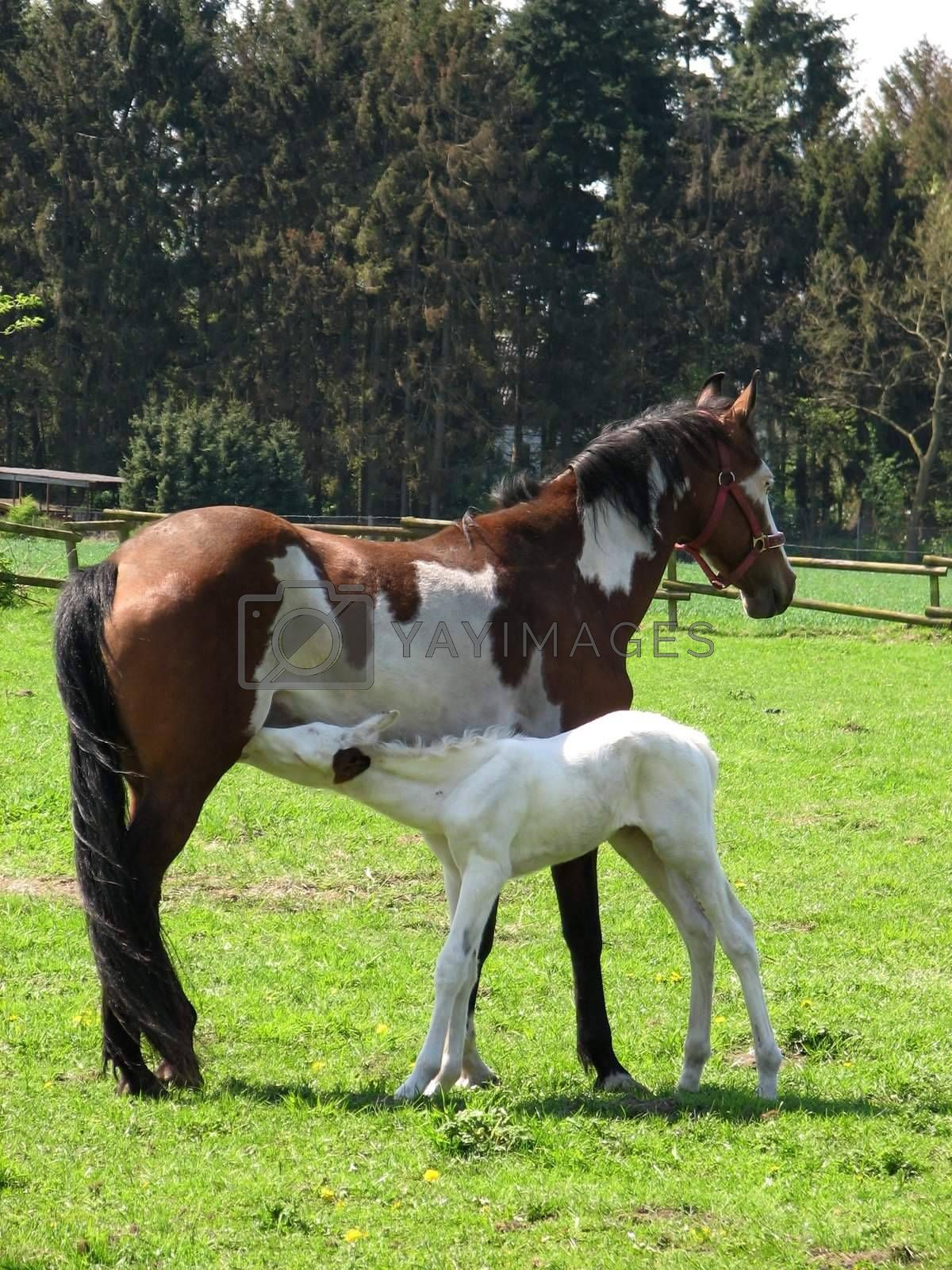 Pinto mare with white foal in the pasture