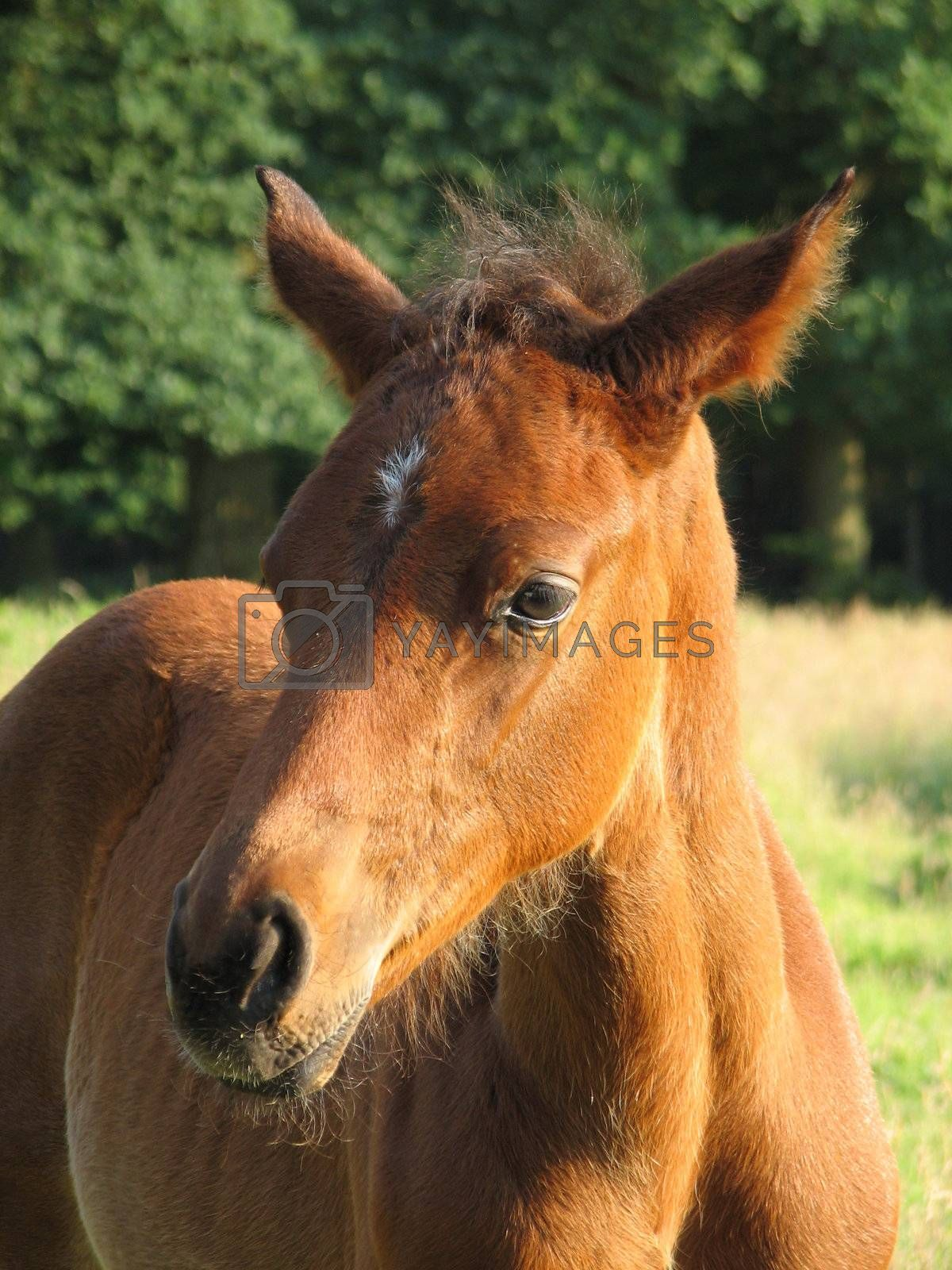 close-up of a brown foal